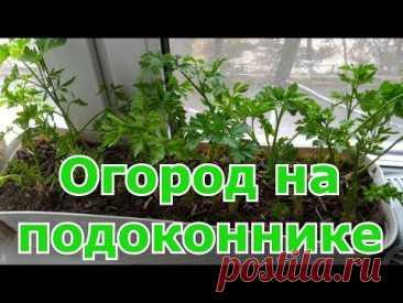 Огород на подоконнике  Посадка осенью и выращивание петрушки дома