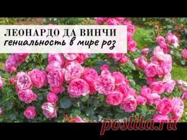 Леонардо да Винчи - идеальная роза, описание, агротехника