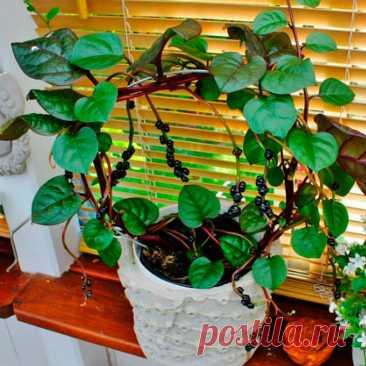 Растение Базелла заморский гость: польза и выращивание из семян Базелла (Basella), малабарский шпинат, индийский шпинат – травянистое растение-лиана, относящееся к семейству Базелловые. Мясистые стебли способны достигать длины 10 м, они покрыты тонкой кожицей зеленого или красноватого оттенка. Листовые пластины обратнояйцевидной формы, поверхность кожистая, хорошо видны прожилки.