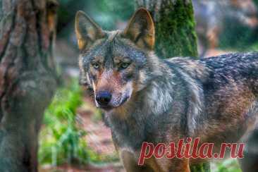 Грозные и мощные: 7 самых больших волков в мире - Рейтинг 🐺Представляем вам рейтинг 7 самых больших волков в мире, который был подготовлен нашей редакцией по данным портала Petkeen.com.