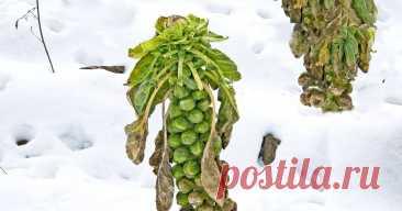 Не спешите убирать – 7 овощей, которым осенние холода на пользу Выбираем самые холодостойкие овощи и корнеплоды.
