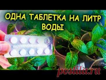 Рассада зеленеет и растет на глазах! Одна таблетка на литр воды! Средство из аптеки для рассады.