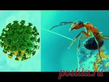 Иммунитет. 💥 Настойка 🍷🍾 лесных 🦟 муравьёв, которую боятся вирусные инфекции (virus).