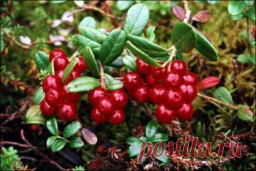 Las propiedades medicinales de la baya de las bayas rojas del Norte