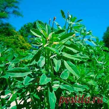 Лекарственное растение Пажитник сенной (Trigonella foenum-graecum). Однолетнее растение с сильным ароматом высотой 10-50 см. Корень мощный, стержневой. Побеги прямостоячие или лежащие на земле. Листья черешковые, тройчатые, листочки на концах зубчатые. Цветки бледно-желтые; венчик длиной около 1,8 см, у основания фиолетовый. Цветки одиночные или по 2 в пазухах листьев. Бобы длиной до 10 см, стоят перпендикулярно, прямые или слегка изогнуты, с клювиком длиной 2-3 см.