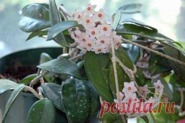 Хойя: что нужно знать для успешного выращивания в домашних условиях? Если хочется разнообразить коллекцию комнатных цветов изысканным тропическим растением, то один из лучших вариантов — хойя. Это экзотическая лиана, в простонародье получила более «приземленное» назван...