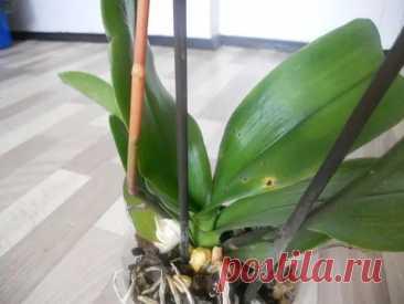 (11) Что делать и почему у орхидеи полностью засох цветонос - Цветочки - медиаплатформа МирТесен