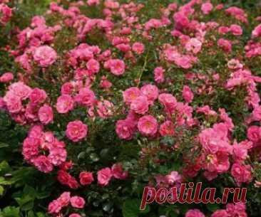Купить саженцы Почвопокровных роз с доставкой по Москве и Подмосковье