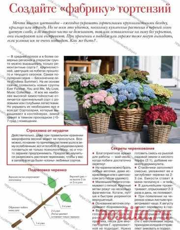 Гортензии в саду      Цветы на даче, рядом с домом.  Советы садоводу, черенкование гортензии, советы черенкования.