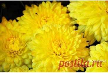 Хризантемы. Секреты пышного цветения.