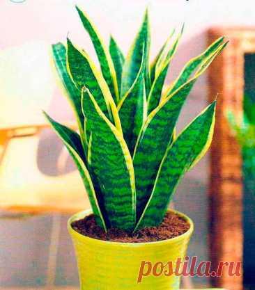 Комнатное растение Сансевиерия (Sansevieria). Род, включающий около 60 видов травянистых растений, назван по имени итальянского князя Саневиеро, жившего в XVIII в. Сансевиерия цилиндрическая (S.cylindrica) привлекает внимание своими необычными крупными вертикальными цилиндрическими листьями, достигающими в диаметре 1,5-2 см. Среди прочих видов распространена сансевиерия трехполосая (S.trifasciata) с розеткой из 6-8 жестких вертикальных мечевидных листьев.