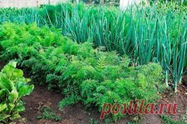 Посади сейчас и весной будешь с зеленью на 3 недели раньше! Какую зелень сажать под зиму? Если зелень посадить под зиму, то она лучше приживется и быстрее даст урожай весной. Вот мои советы, какую зелень сажать под зиму и как? Семена зелени