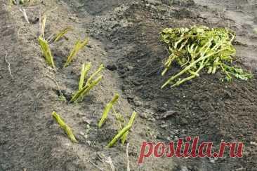 Нужно ли скашивать картофельную ботву? | Садовичок | Яндекс Дзен