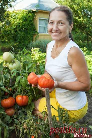 Советы огородников. Июль - огород в июле, советы огородников, уход за томатами, пятна на листьях помидоров, семена редиса, окуч