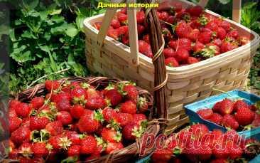 Важные правила выращивания клубники, без соблюдение которых не получить богатый урожай | Дачные истории | Яндекс Дзен