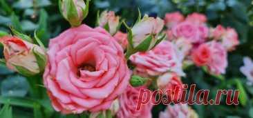 Чем подкормить розы в июле, чтобы они обильно цвели до заморозков