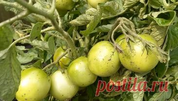 8 томатов для начинающих, которые легко выращивать, не требуют ухода, сами легко растут и дают при этом много урожая | Я люблю цветы | Яндекс Дзен