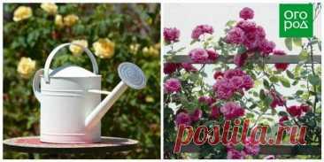 Все, что вам нужно знать о плетистых розах   Розы (Огород.ru)
