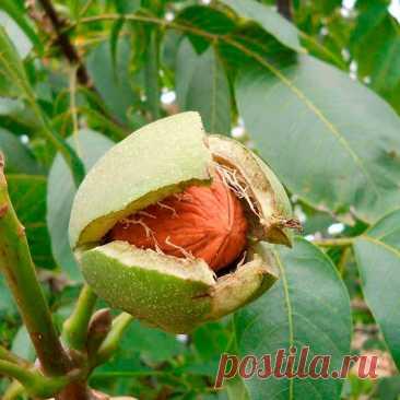 Лекарственное растение Орех грецкий (Juglans regia). Дерево высотой до 25 м с серой, с возрастом становящейся продольно-трещиноватой корой и шарообразной кроной. Листья перистые, с 7-9 обратнояйцевидными до эллиптических цельнокрайних листочков, которые могут быть длиной до 15 см. С нижней стороны опушены только уголки жилок, Мужские цветки появляются одновременно с молодыми листьями, они образуют 5-15-сантиметровые висячие сережки; женские цветки собраны по 2-3 на верхушках побегов.