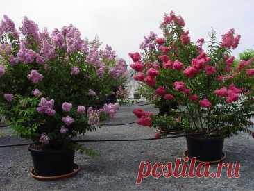 Удивительные цветы с ароматом духов | ЗЕЛЕНЫЙ МИР С ЕЛЕНОЙ | Яндекс Дзен