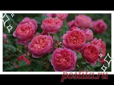 Роза Леонардо Да Винчи: описание, посадка и особенности ухода