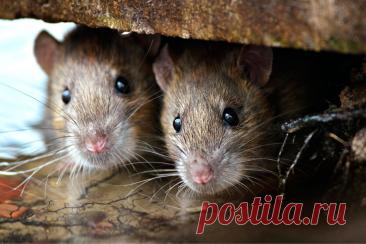 Как дешево избавиться от мышей в доме: мой рабочий способ и несколько советов | BAZILEVSKI / Я ИЗ СИБИРИ! | Яндекс Дзен