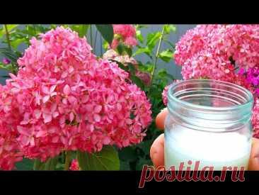Подкормите этим ГОРТЕНЗИИ в июле для пышного и яркого цветения!
