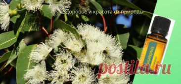 Эфирное масло эвкалипта Полезные свойства