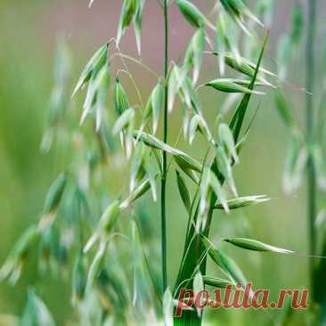 Лекарственное растение Овес посевной (Avena sativa). Однолетний злак с метельчатым соцветием высотой от 60 до 150 см. Стебель прямостоячий, полый. Листья линейно-ланцетные без ушек у основания (этим отличается от ржи, ячменя и пшеницы), язычки короткие с треугольными заостренными зубчиками. Цветки чаще всего собраны по 2-4 в колоски, объединяющиеся в рыхлую раскидистую метелку.