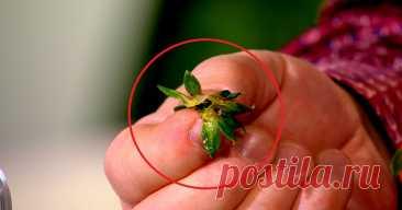 Сушеные хвостики клубники ценятся дороже, чем сама ягода: не упусти свой шанс заготовить их в сезон.