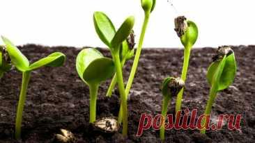 Ничего сложного! Выращивание комнатных растений из семян в домашних условиях   На земле   Пульс Mail.ru Выращивание из семян позволяет получить более жизнеспособные растения, лучше адаптированные к среде, в которой они произрастали. Такой способ...