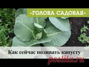 Голова садовая - Как сейчас поливать капусту