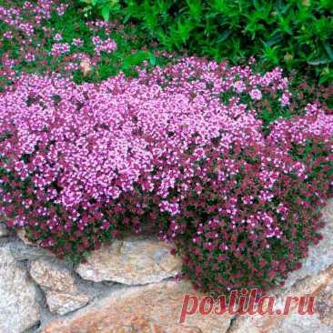 Лекарственное растение Тимьян ползучий (Thymus serpyllum). Сборный вид, чрезвычайно богатый формами. Многолетнее растение высотой от 5 до 30 см, Стебли полегающие до приподнимающихся, часто укореняющиеся, у основания иногда несколько одревесневающие. Накрест-супротивные плоские листья обратнояйцевидные до линейно-эллиптических; в отличие от культивируемого тимьяна обыкновенного с нижней стороны не имеют белого опушения. Розово-красные до красно-фиолетовых цветки на верхушках стеблей.