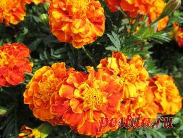 Как бархатцы могут пригодиться осенью для обеззараживания грядок   Дача ягодки цветочки   Яндекс Дзен