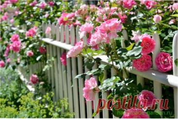 Чем нужно подкормить розы весной и летом для пышного цветения