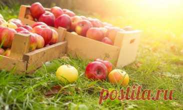 Как сохранить яблоки на зиму свежими в домашних условиях | Живой сад | Пульс Mail.ru
