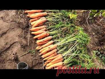 Урожай морковки, итоги сезона.