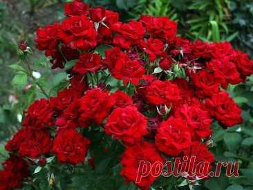 САМЫЕ ВАЖНЫЕ ПОДКОРМКИ ДЛЯ РОЗ: КОГДА, ЧЕГО И СКОЛЬКО ⠀Чтобы розы цвели пышно и живописно, да так каждый год, их нужно баловать минеральными подкормками.⠀Первую подкормку проводят еще весной, как только сходит снег. Для этого на 1 квадратный метр земли вносят 20-30 г аммиачной селитры;⠀Вторая подкормка нужна розам в мае – они будут обильнее...