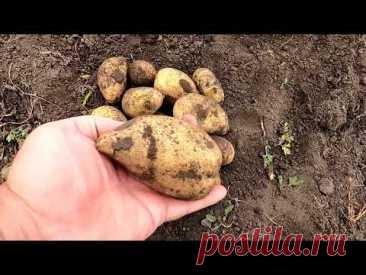 Уборка картофеля, итоги сезона по сортам.