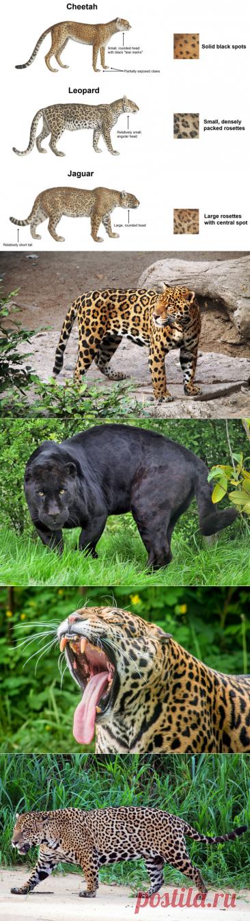 Всё самое интересное о ягуарах