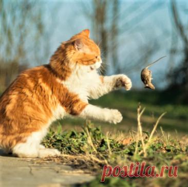 Почему кошки приносят домой мышей и птиц и чем это опасно для человека Жители загородных домов часто сталкиваются с таким явлением: кошка приносит хозяину пойманную птицу, мышь или ещё какую-либо живность. И вроде животное постоянно получает корм, не голодает — для чего оно это делает? Давайте разберёмся. Не забудьте поставить лайк и подписаться на канал — у нас всегда полезный и интересный контент! Угощайся, человек! Кошка гуляет сама […] Читай дальше на сайте. Жми подробнее ➡