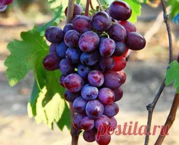 Сюрпризы сладкой Антонины Народные селекционеры активно вовлекают в селекционный процесс новые сорта винограда. Не избежала... Читай дальше на сайте. Жми подробнее ➡