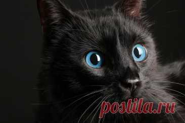 Что за зверь такой Охос Азулес? Особенности породы кошек | Про Кошек | Яндекс Дзен