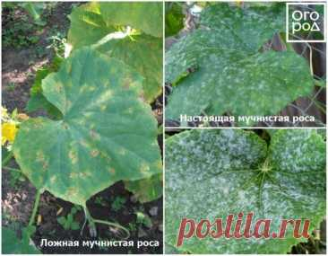 Как продлить плодоношение огурцов   Огурцы (Огород.ru)