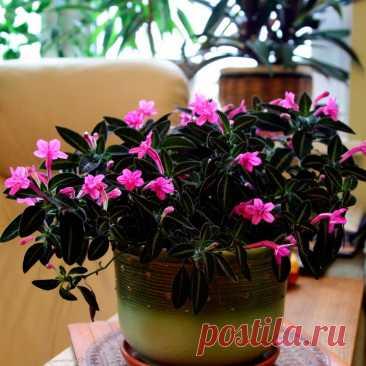 Лекарственное растение Рута душистая (Ruta graveolens). Многолетнее крепкое голое растение высотой до 50 см с очень острым, долго сохраняющимся запахом. Стебель разветвленный. Листья очередные, двояко- или троякоперистые, сизо-зеленые, с более или менее яйцевидными маленькими сегментами. Соцветие рыхлое, метелковидное. Цветки желтые, верхушечные - 5-членные, боковые - 4-членные, Лепестки ложкообразно углубленные, с точками, края неравно-мернозубчатые и волнистые, Чашелистики остроланцетные.