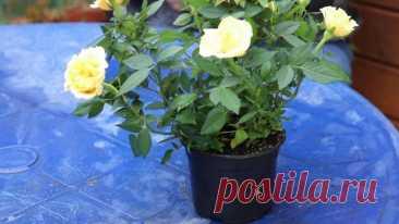Как выращивать розу Кордана дома и в открытом грунте? Видео — Ботаничка.ru