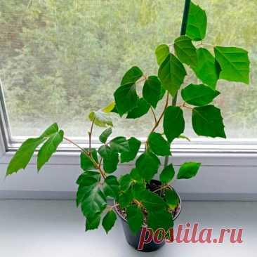 Комнатное растение Роициссус (Rhoicissus). Наряду с циссусом и тетрастигмой роициссус относится к семейству Виноградовые. Это довольно популярное теневыносливое и быстро разрастающееся растение можно использовать для маскировки больших вертикальных плоскостей. Роициссус обычно высаживают в подвесные горшки. Растение весьма неприхотливо, оно способно расти в широком диапазоне температур и хорошо себя чувствует в условиях сухого воздуха городских квартир.