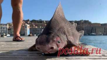 Акула со свиным рылом: в Италии замечена необычная рыба   Живой мир - природа