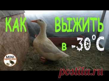 Как помочь выжить уткам и гусям при   - 30 градусах..