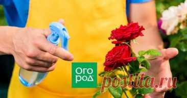 Ошибки, которые вы совершаете при выращивании роз Розы – растения довольно капризные. Чтобы они радовали вас своим пышным цветением максимально долго, нужно соблюдать все правила агротехники. Любая ошибка при выращивании роз может ослабить цветение и даже привести к гибели куста.